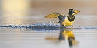 A ringnecked duck shows off its waterskiing skills