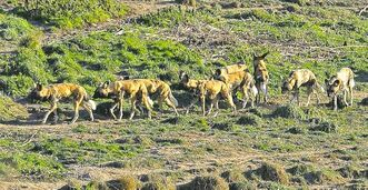 A pack of African painted dogs walks together at a wildlife facility in Langley, B.C.