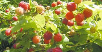 There are two types of red raspberry canes, Primocane and Floricane. Boyne raspberry, developed at the Morden Research Centre, is the hardiest for Manitoba's climate.