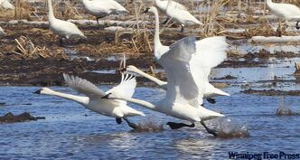 Tundra swans take flight. Red Lake River is the Red's second-largest tributary.