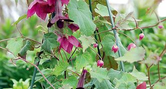 Purple Bell vine  is a profusely flowering annual vine. Support it on a trellis or grow in a hanging basket.