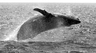 A humpback whale leaps out of the water in the channel off the town of Lahaina on the island of Maui in Hawaii.