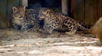 The Snow leopard cubs made their debut to the public Aug. 27 for the first time.