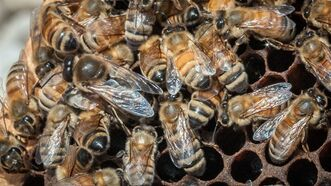 In this May 22, 2013 photo provided by the U.S. Department of Agriculture, a queen Italian honeybee, the large bee just left of center, is surrounded on an apiary nest in Washington, D.C. The USDA hopes to help honeybees by providing $3 million to farmers and ranchers in five states to improve their pastures. It turns out that dairy cows and bees like many of the same plants. (AP Photo/USDA, Lance Cheung)