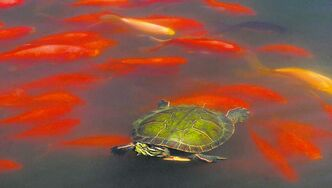 Goldfish swim around a painted turtle in a pond. The reptiles can freeze solid and return to life when thawed.