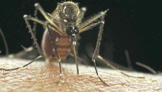 Mosquitoes are a menace. City crews will continue fogging them Sunday night,