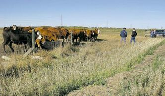 The beef cattle herd at the Agriculture Canada Brandon Research Station helped researchers study integrated forage, beef  and nutrient-management systems before it was cut. It is unknown what will happen to the 800 head of cattle.