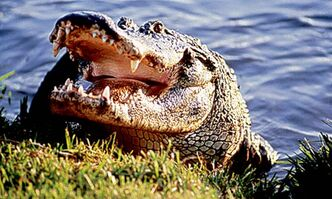 Alligators, viewed in safe quarters, are often a drawing card for tourists.