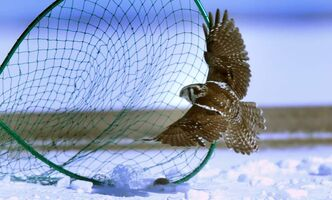 A Northern Hawk Owl flies into a net.