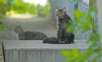 Two of Winnipeg's feral cats keep a wary eye on a photographer. Up to 100,000 cats - not spayed and not neutered - roam city streets at any given time.
