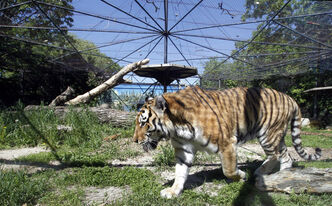The small existing Amur Tiger exhibit will be replaced thanks to a donation from Linda McGarva-Cohen and James Cohen.