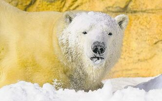 Dan Harper photo  Hudson, the polar bear at Winnipeg's Assiniboine Park Zoo, will be officially introduced to the public on Thursday, Valentine's Day.