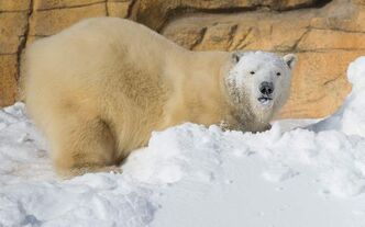 Hudson the polar bear playing in the snow at the Assiniboine Park Zoo.