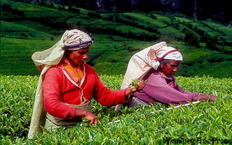 Nimble-fingered Tamil women collect each 16 kilograms of fresh tea leaves a day.
