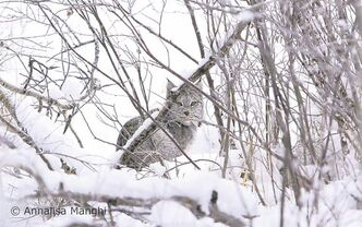 Annalisa Manghi got this once-in-a-lifetime shot of a Canadian lynx in a willow thicket near Riding Mountain National Park.