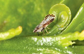 The Asian citrus psyllid is systematically destroying orange groves from Florida to California.