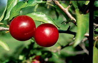 Toka plum, one of the best pollinators, is richly flavoured. Extremely cold-hardy and pest-free.