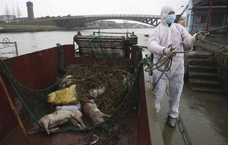 FILE - In this Wednesday, March 13, 2013 file photo, a worker in protective clothing prepares to haul away dead pigs pulled from a river along Zhonglian village of Jinshan district in Shanghai. The number of dead pigs found in the Shanghai river that provides drinking water to the Chinese financial hub has risen to 7,545, after local authorities retrieved 944 more pigs Thursday, March 14. (AP Photo/File) CHINA OUT