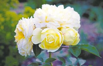 The Pilgrim is attracting plenty of admiration from visitors to the English Garden at Assiniboine Park. The most floriferous of the David Austin roses, it features clusters of huge, very double pale yellow and white blooms.