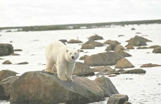 Churchill is one of the best spots in the world to see polar bears.