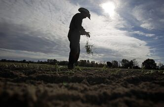 FILE - In this Dec. 10, 2010 file photo, a worker tears off the leaves of a Vidalia onion plant before planting its roots into the soil on an onion farm in Lyons, Ga. Sweeping immigration legislation taking shape in the Senate will aim to dramatically overhaul the nation's agriculture worker program to create a steady supply of labor for the nation's farmers and growers, who rely more on illegal workers than any other industry. (AP Photo/David Goldman, File)