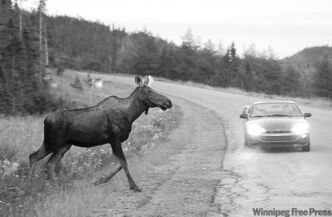 A moose appears ready to run in front of a car in Gros Morne National Park in Newfoundland.