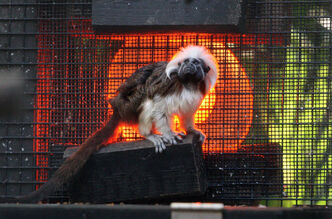 A cotton-top Tamarin -- easily recognizable by the long white crest extending from its forehead to its shoulders -- keeps warm in front of a heat lamp at the Palm Beach Zoo in Florida.