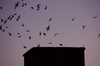 Chimney swifts, seen here in a file photo, build communal nests in chimneys.