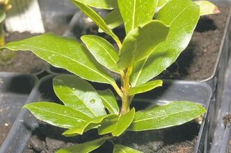 Bay laurel will thrive indoors and is easy to grow but avoid an area that is too warm or blasted by forced air. Enhances the flavour of soups or stews.
