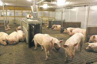 At the Swine Innovation Centre in the Netherlands, feed is dispersed electronically to ensure each sow gets enough to eat.