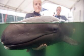 Vancouver Aquarium Marine Mammal Rescue Centre handle a rescued false killer whale in a handout photo released on Thursday July 24, 2014. THE CANADIAN PRESS/HO