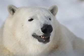 Sixteen-month-old polar bear Hudson makes his first public appearance at the Assiniboine Zoo in Winnipeg, Thursday, February 14, 2013. THE CANADIAN PRESS/John Woods