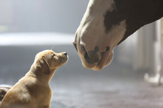 The beloved Budweiser Clydesdales feature prominently in 'Puppy Love,' which continues the story of 2013's celebrated