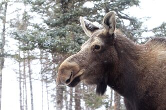 A moose is pictured in Cookville, New Brunswick. The Nature Conservancy of Canada has received 316 hectares of private land from a former top diplomat to promote cross-border moose love along the Nova Scotia-New Brunswick boundary. THE CANADIAN PRESS/ho, Nature Conservancy of Canada - Mike Dembeck