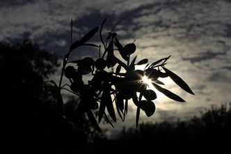 A olive tree is pictured during sunset near Alyki in the Island of Paros, Greece, on Nov. 16, 2010. THE CANADIAN PRESS/AP, Matthias Schrader