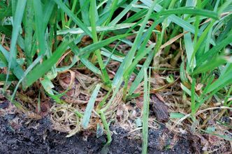 The lawn is a collection of many plants, all of which need to be in top form to out-compete weeds.