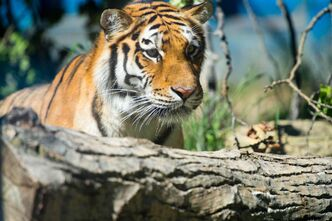 Sarma, an Amur tiger born at the Assiniboine Park Zoo is leaving the family den for a new home in St. John, N.B.