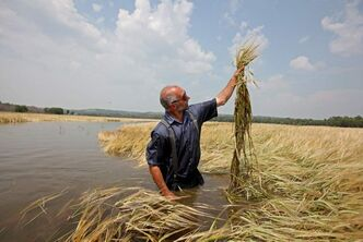 Deerboine Hutterite Colony secretary Mel Hofer wades through a field of barley that is waist-deep in water from the flooding Assiniboine River to check out the damage to the crop on Friday afternoon.