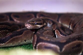 A python lies peacefully in a heated enclosure at City of WInnipeg Animal Services after being found in a dumpster Tuesday evening on Wellington Crescent.