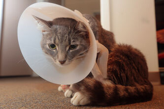Le Neige the cat is recovering from her injuries after being shot.