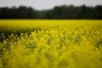 Futures prices for canola have been hit hard, and analysts say the decline isn't over.