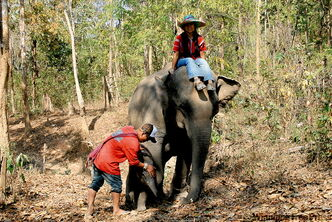 Elephants guided by mahouts at the Pong Youeng Elephant Camp. The camp operates in an area home to hill tribes from ethnic Karen, Akha, Lahu, Mien, Lisu and Hmong groups.