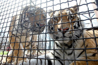 To control the Assiniboine Park Zoo's Siberian tiger population, a vet put the females on birth control that can be administered either as an annual injection or a slow-release implant under the skin.