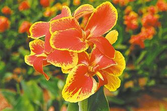 Canna Rosemond Cole, a dwarf canna with rich red and gold blooms. Leave one inch of stem and foliage above the bulb after lifting. Store evenly spaced in a cool, frost-free area.