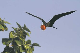Belize is a birdwatcher's dream with sightings that included the magnificent frigatebird.