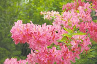 More tender than Orchid Lights, plant Northern Lights on the north or east side of a house or fence or in a wind-sheltered location. Ensure that azaleas or rhododendrons receive partial sun � avoid full afternoon sun.