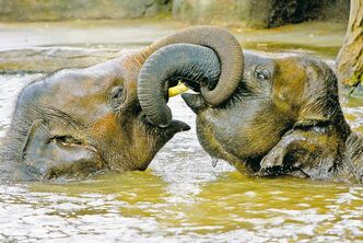 A study shows Asian elephants get distressed when they see others in trouble and will try to console them.