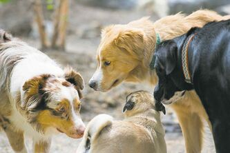 A new study has found dogs can act aggressively out of jealousy.