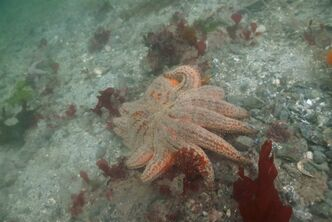 A dying seastar is shown in NW Bowyer Island Howe Sound on Sept. 2, 2013 in this handout photo. Last month, a diver alerted Vancouver Aquarium staff that he had found a number of dead and decaying sunflower sea stars in the cold Pacific waters of a popular dive spot just off the shore of West Vancouver. THE CANADIAN PRESS/ho-Vancouver Aquarium