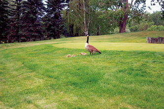 A goose and her goslings are shown near Harbour VIew Golf Course. A $2 green fee hike at the course will go toward improving the course, but golfers would like to see more done about the geese around the course.